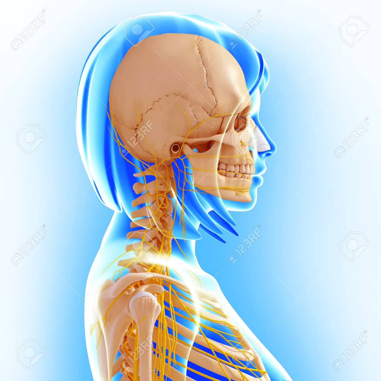 Upper Body Anatomyartwork Stock Photo Picture And Royalty Free