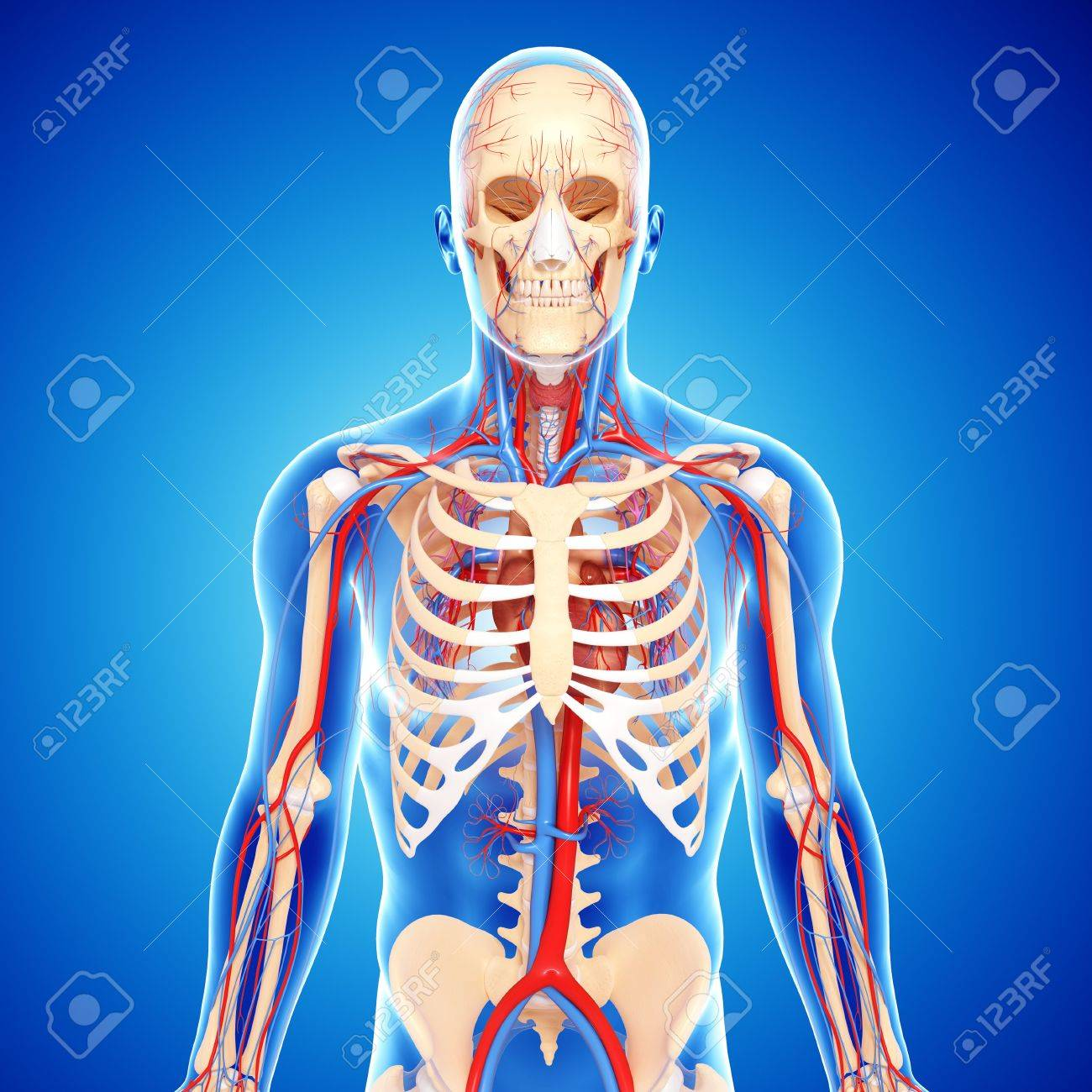 Upper Body Anatomy,artwork Stock Photo, Picture And Royalty Free ...