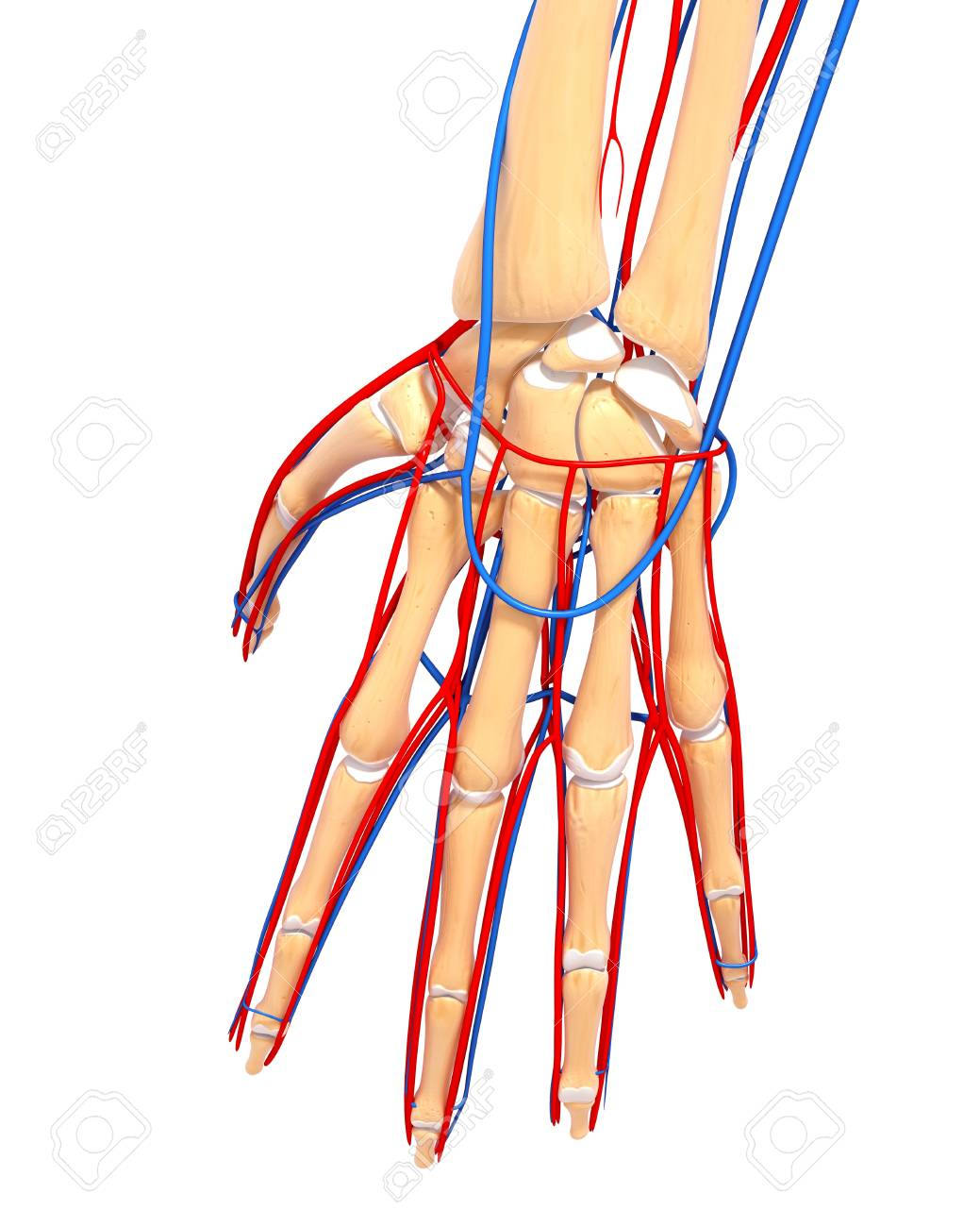 Hand Anatomy,artwork Stock Photo, Picture And Royalty Free Image ...