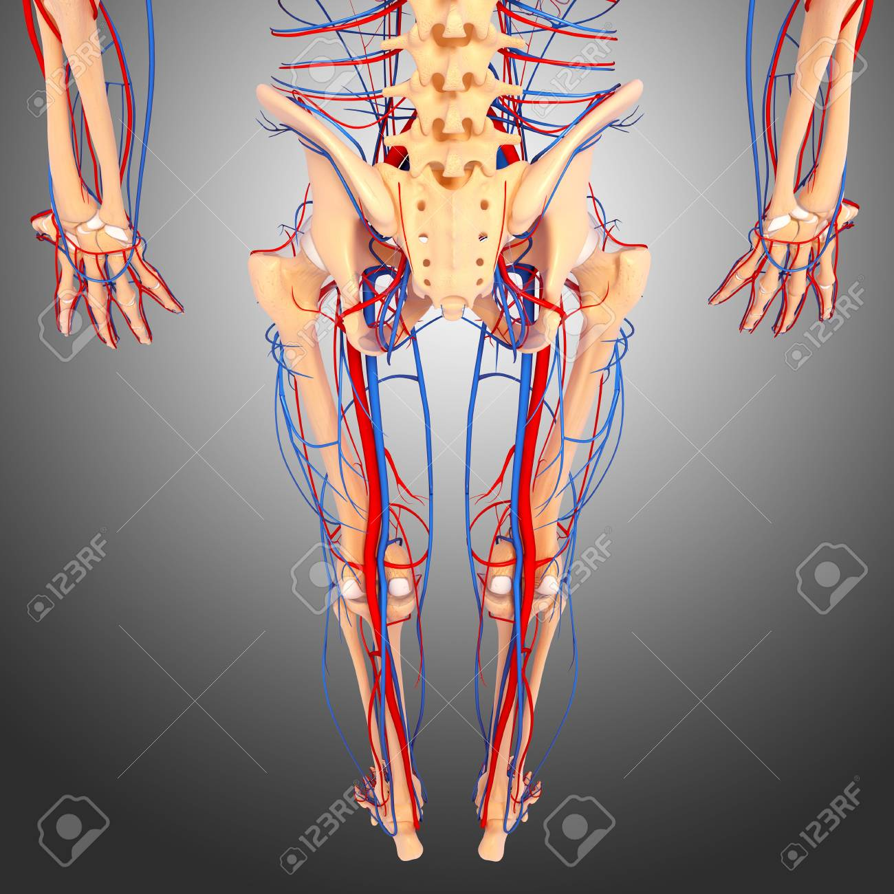 Lower Body Anatomy,artwork Stock Photo, Picture And Royalty Free ...