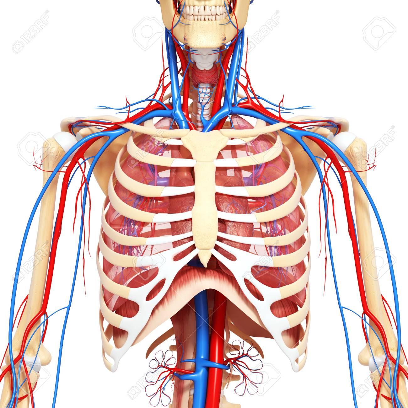Magnífico Tórax Anatomía Pem Regalo - Imágenes de Anatomía Humana ...