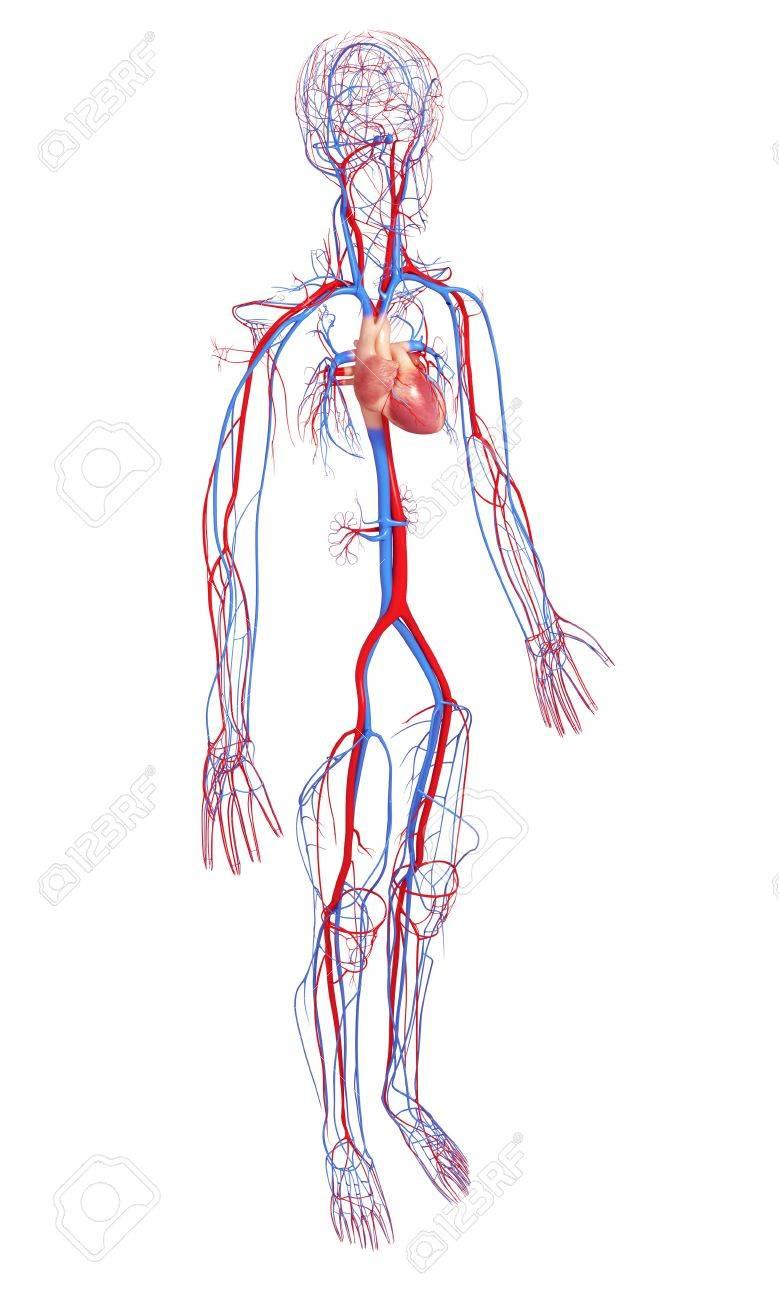 Erfreut Herz Kreislauf Systeme Ideen - Anatomie Von Menschlichen ...