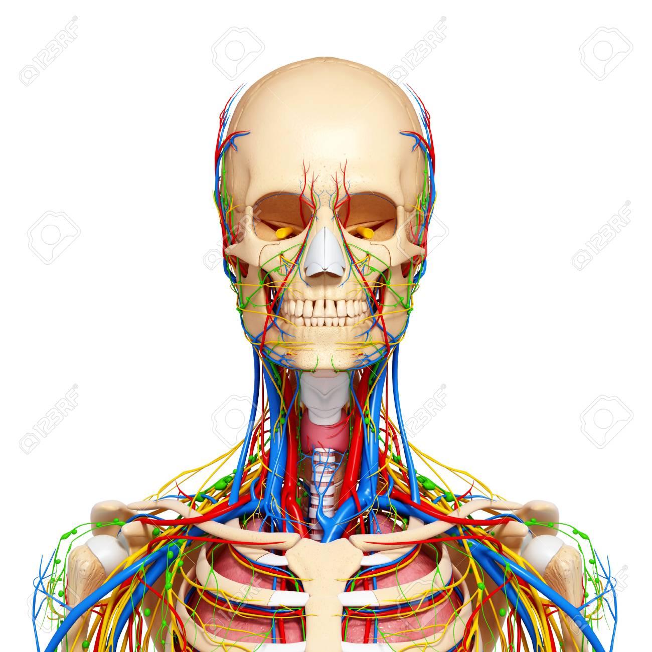 Oberkörper Anatomie, Kunstwerk Lizenzfreie Fotos, Bilder Und Stock ...