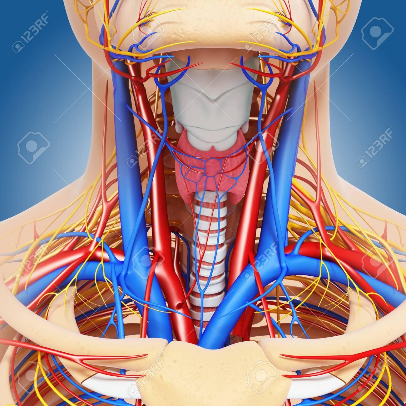 Único Imagen De La Anatomía Del Cuello Embellecimiento - Anatomía de ...