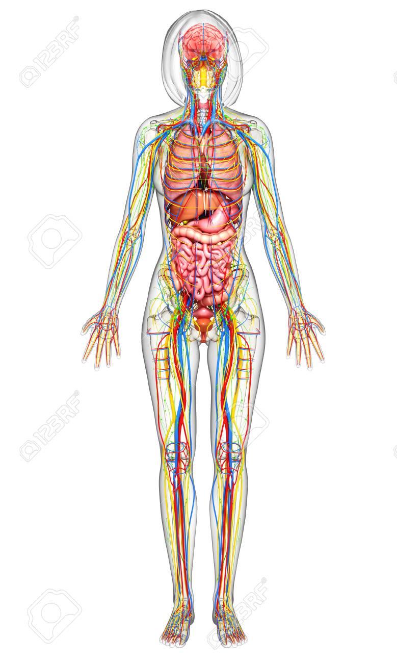 Fantástico Anatomía Interior Femenina Adorno - Imágenes de Anatomía ...