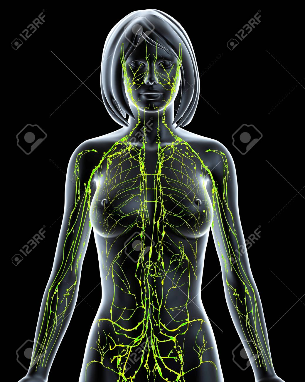 Female Lymphatic System,artwork Stock Photo, Picture And Royalty ...