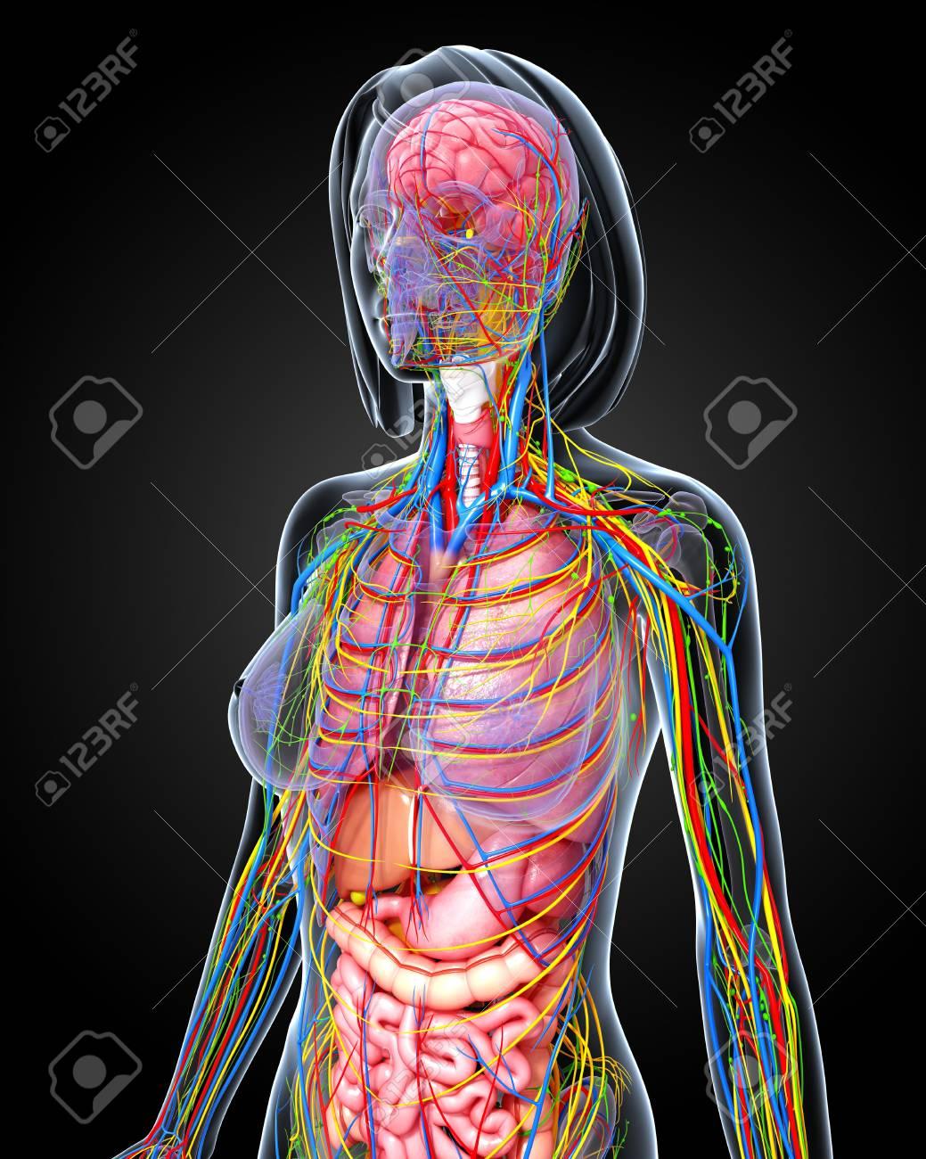 Großzügig Weibliche Anatomie Des Menschen Fotos Galerie ...
