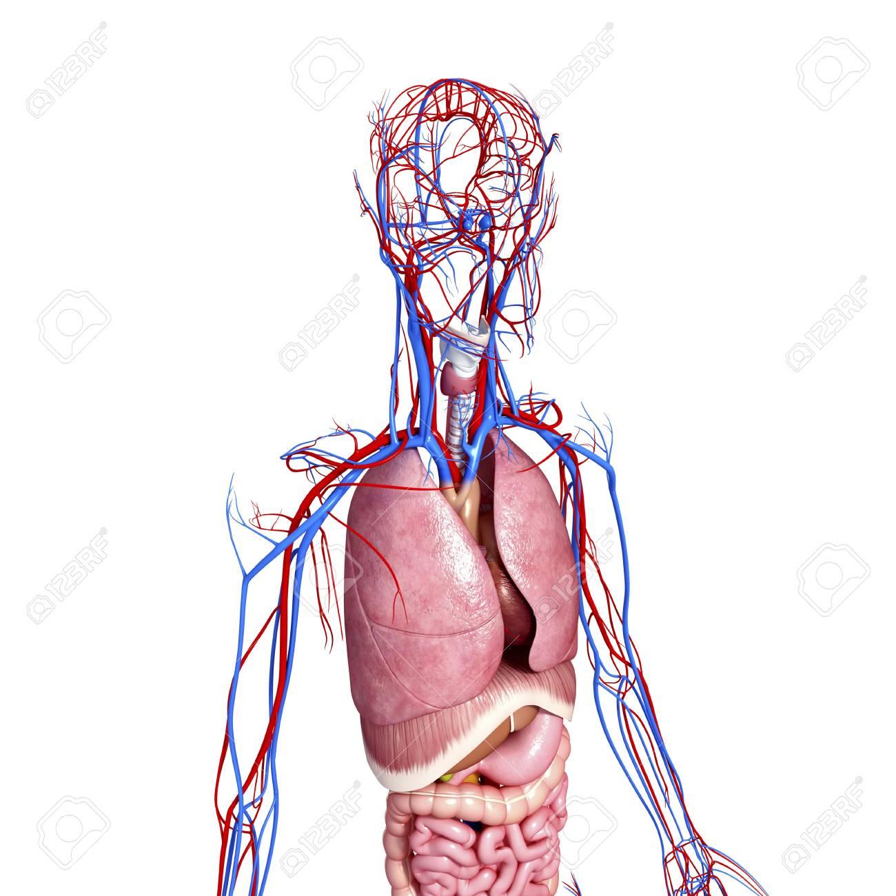 Menschliche Anatomie, Grafik Lizenzfreie Fotos, Bilder Und Stock ...