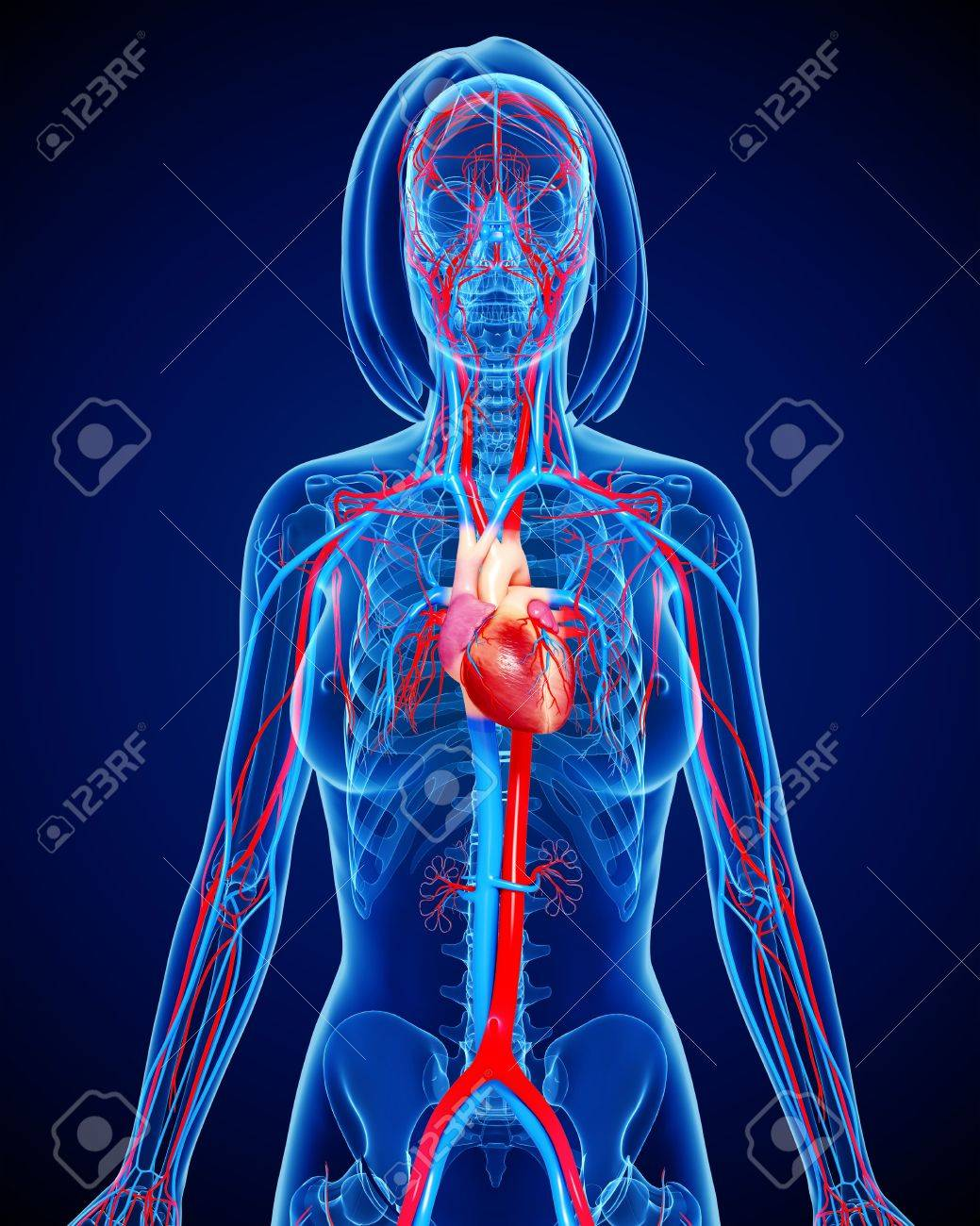 Female Cardiovascular Systemartwork Stock Photo Picture And