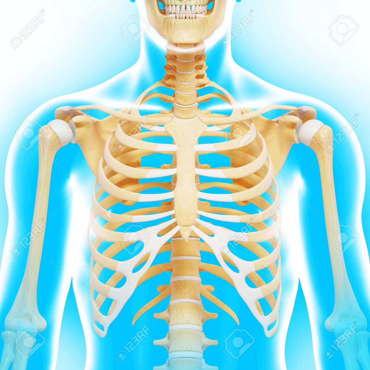 Upper Body Bonesartwork Stock Photo Picture And Royalty Free Image