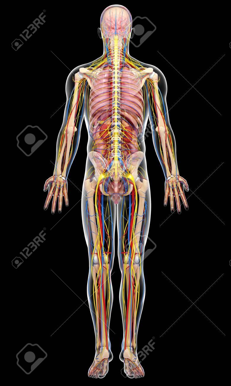 Erfreut Die Anatomie Zurück Bilder - Menschliche Anatomie Bilder ...