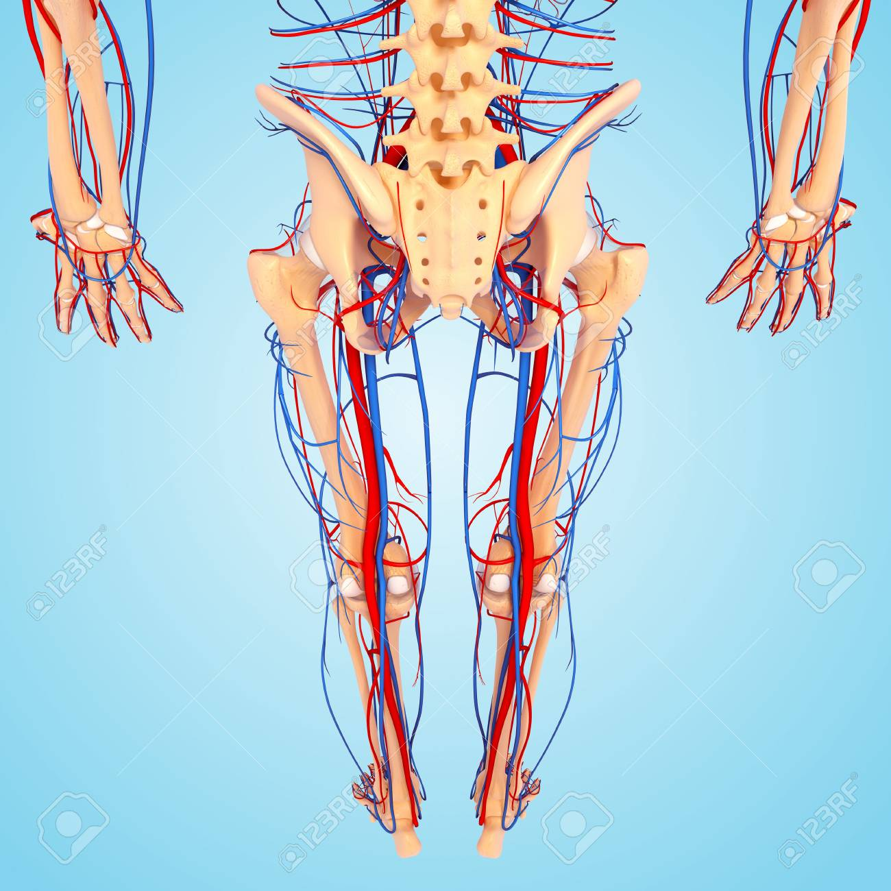 Lower Body Anatomyartwork Stock Photo Picture And Royalty Free