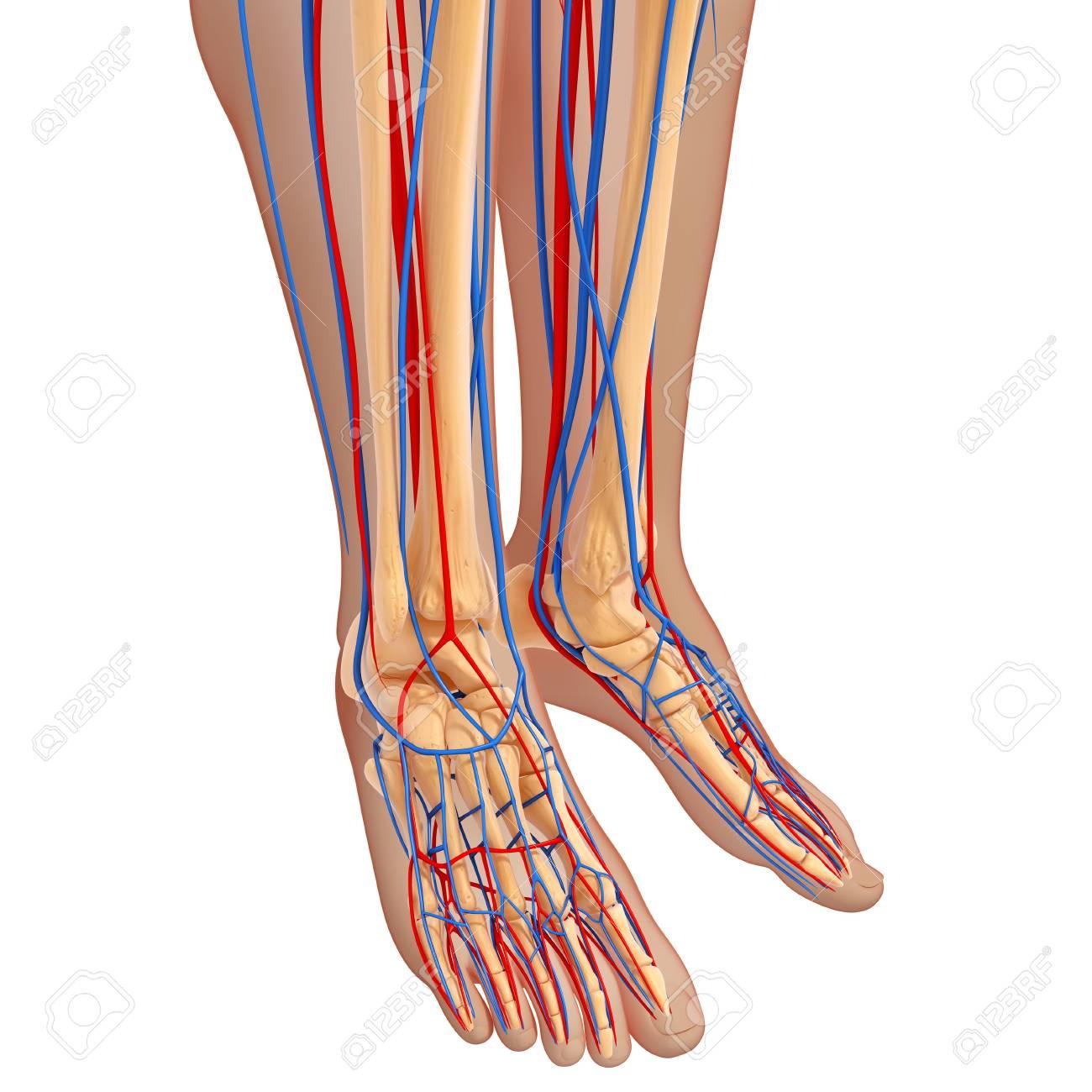 Lower Leg Anatomyartwork Stock Photo Picture And Royalty Free