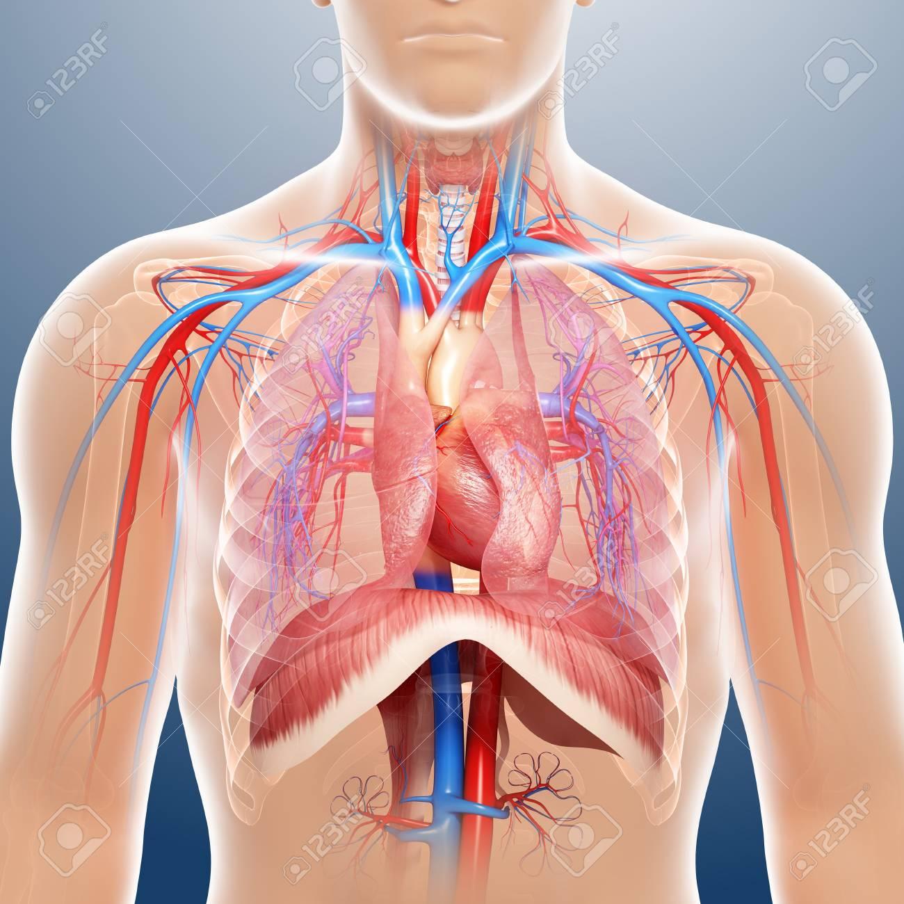 Großartig Brust Anatomie Und Physiologie Pdf Fotos - Menschliche ...