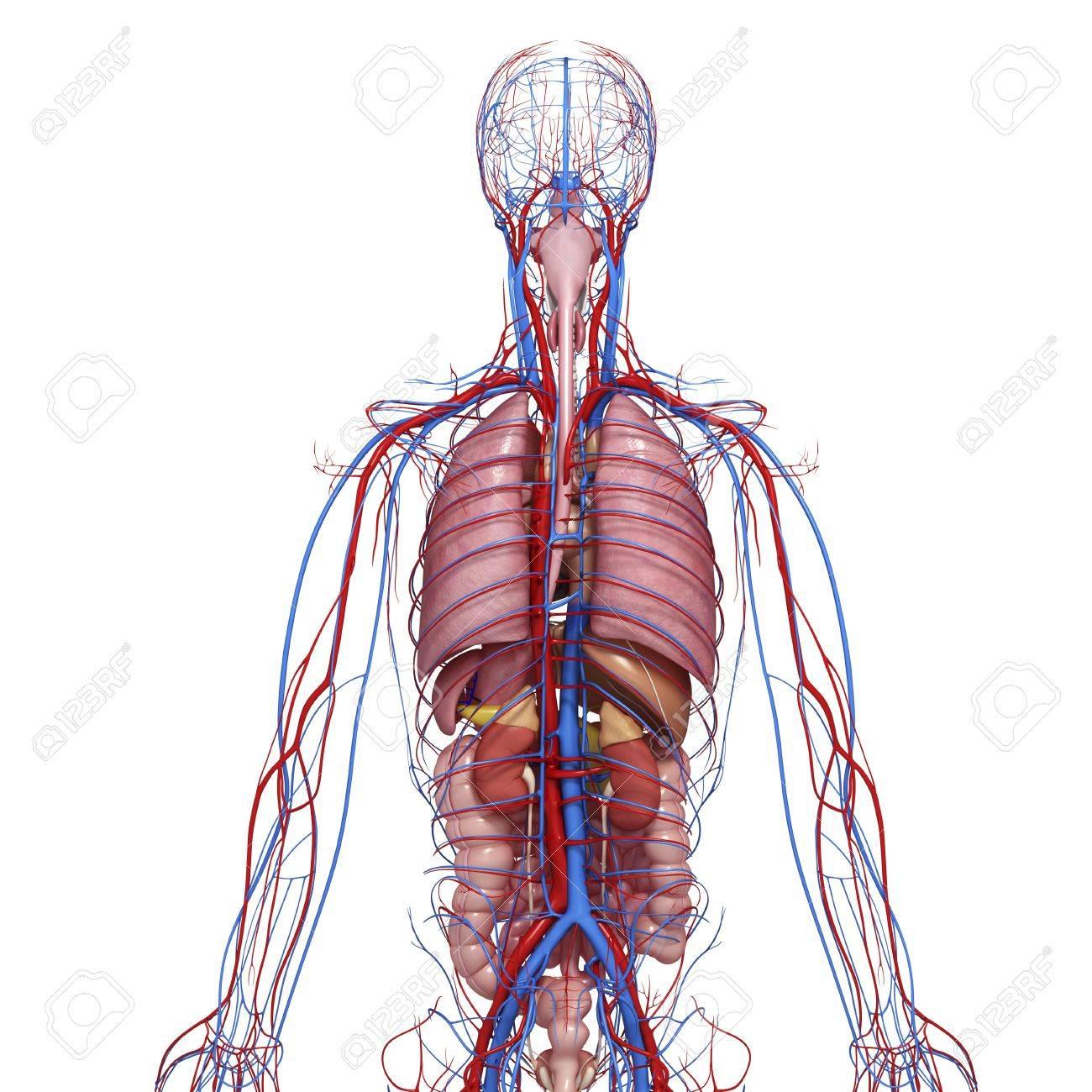 Ausgezeichnet Zeichnung Männliche Anatomie Galerie - Anatomie Ideen ...