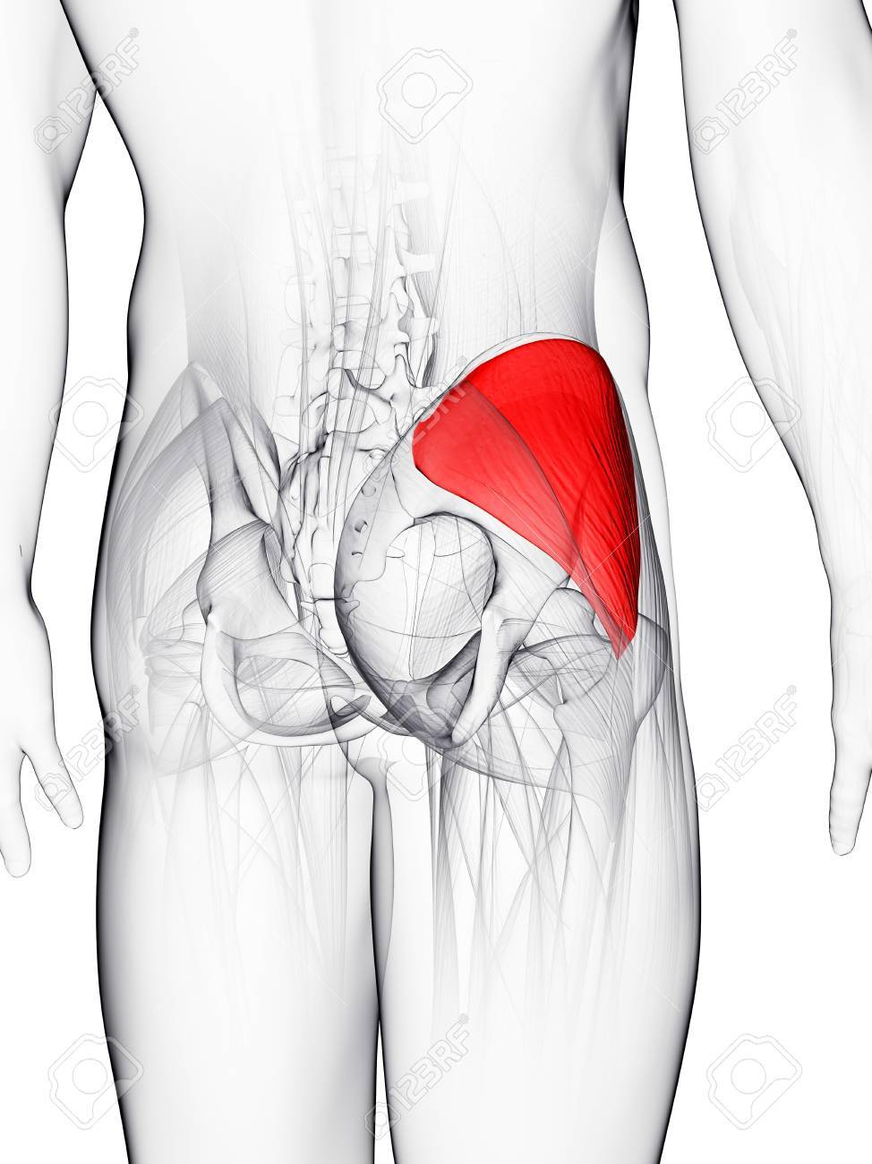 Buttock Muscle. Computer Artwork Showing The Gluteus Medius Muscle ...