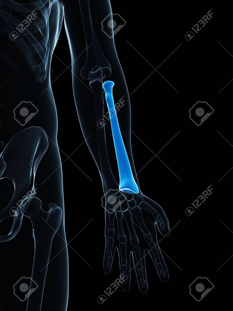 Lower Arm Bone Computer Artwork Showing The Radius Bone Stock Photo