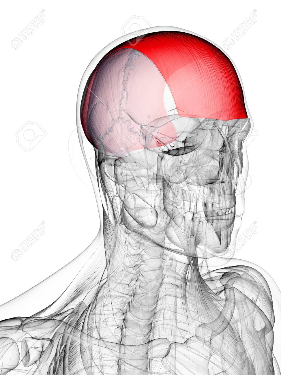 Head Muscle. Computer Artwork Showing The Frontalis Muscle Stock ...