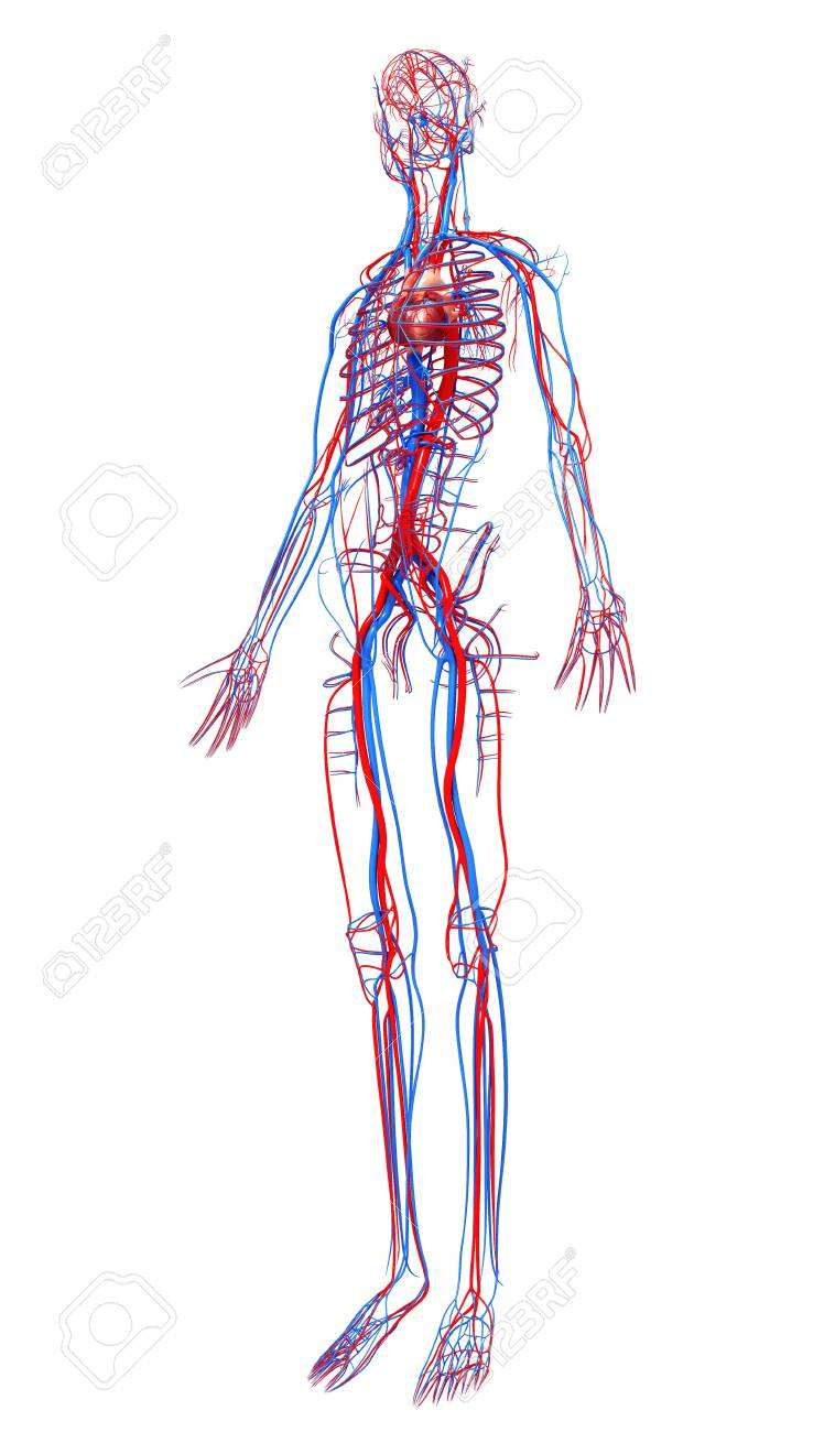 Human Cardiovascular Systemcomputer Artwork Stock Photo Picture