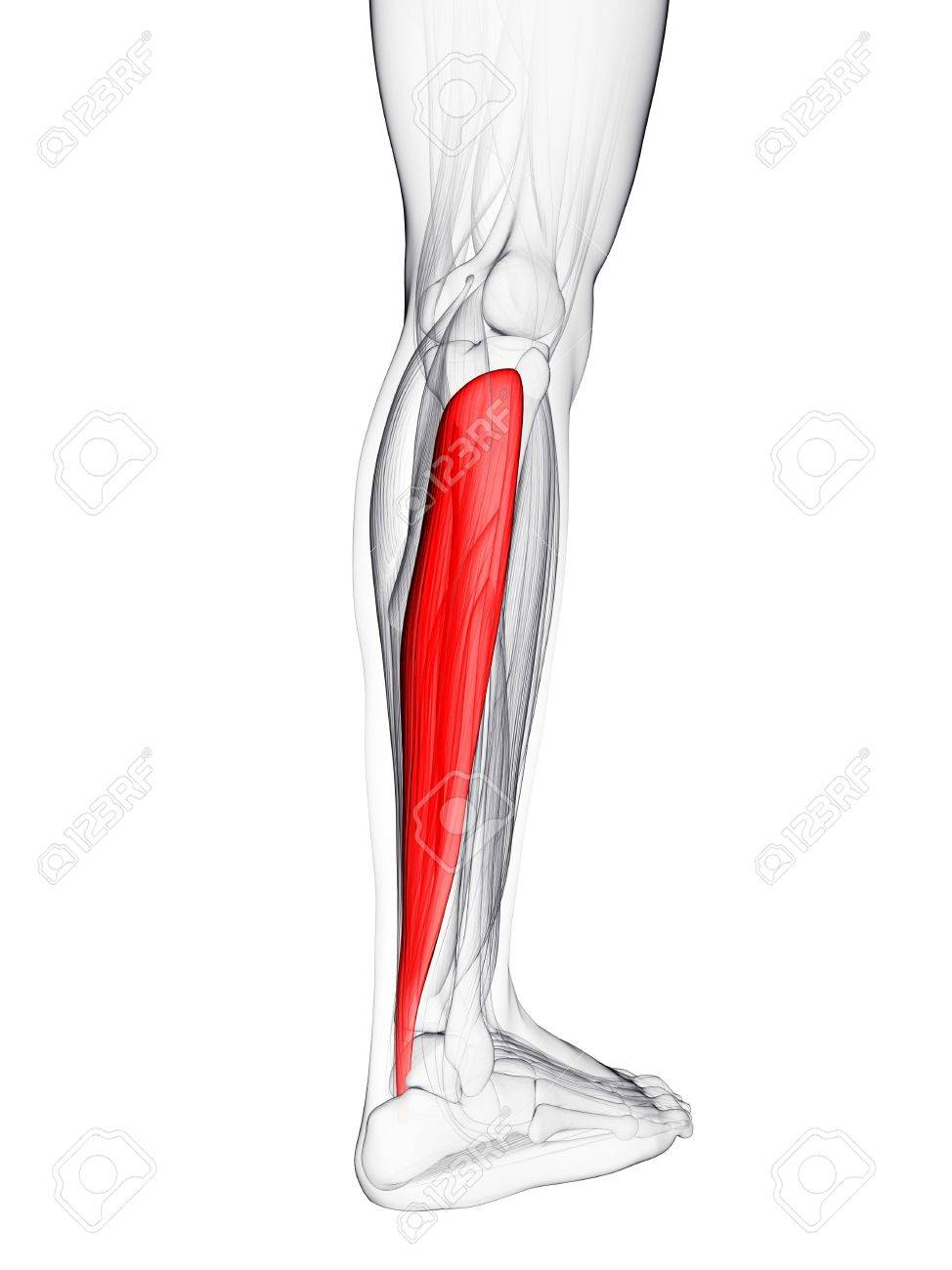 Calf Muscle. Computer Artwork Showing The Soleus Muscle Stock Photo ...