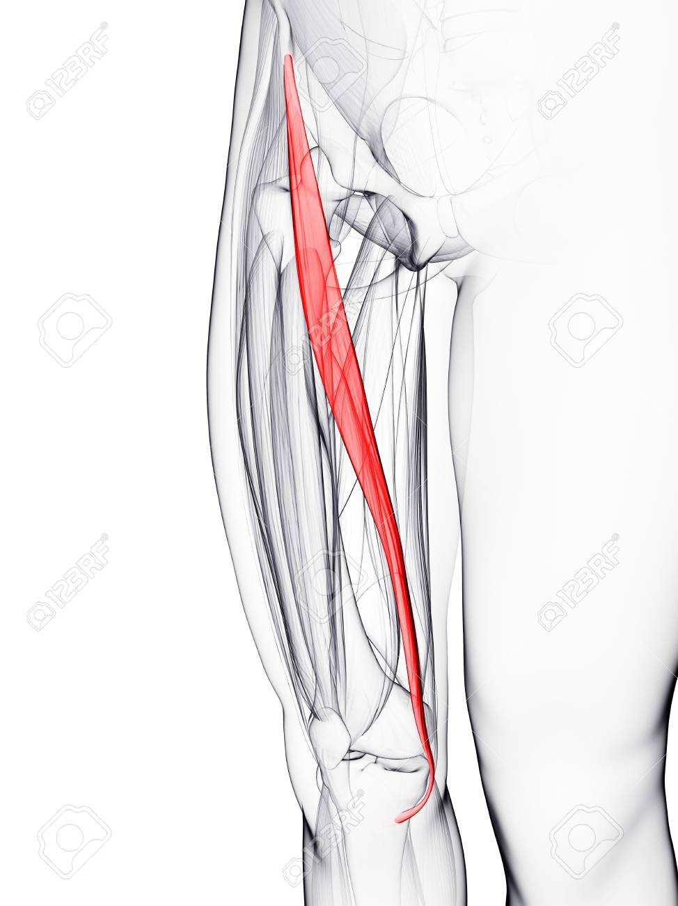 Thigh Muscle Computer Artwork Showing The Sartorius Muscle Stock