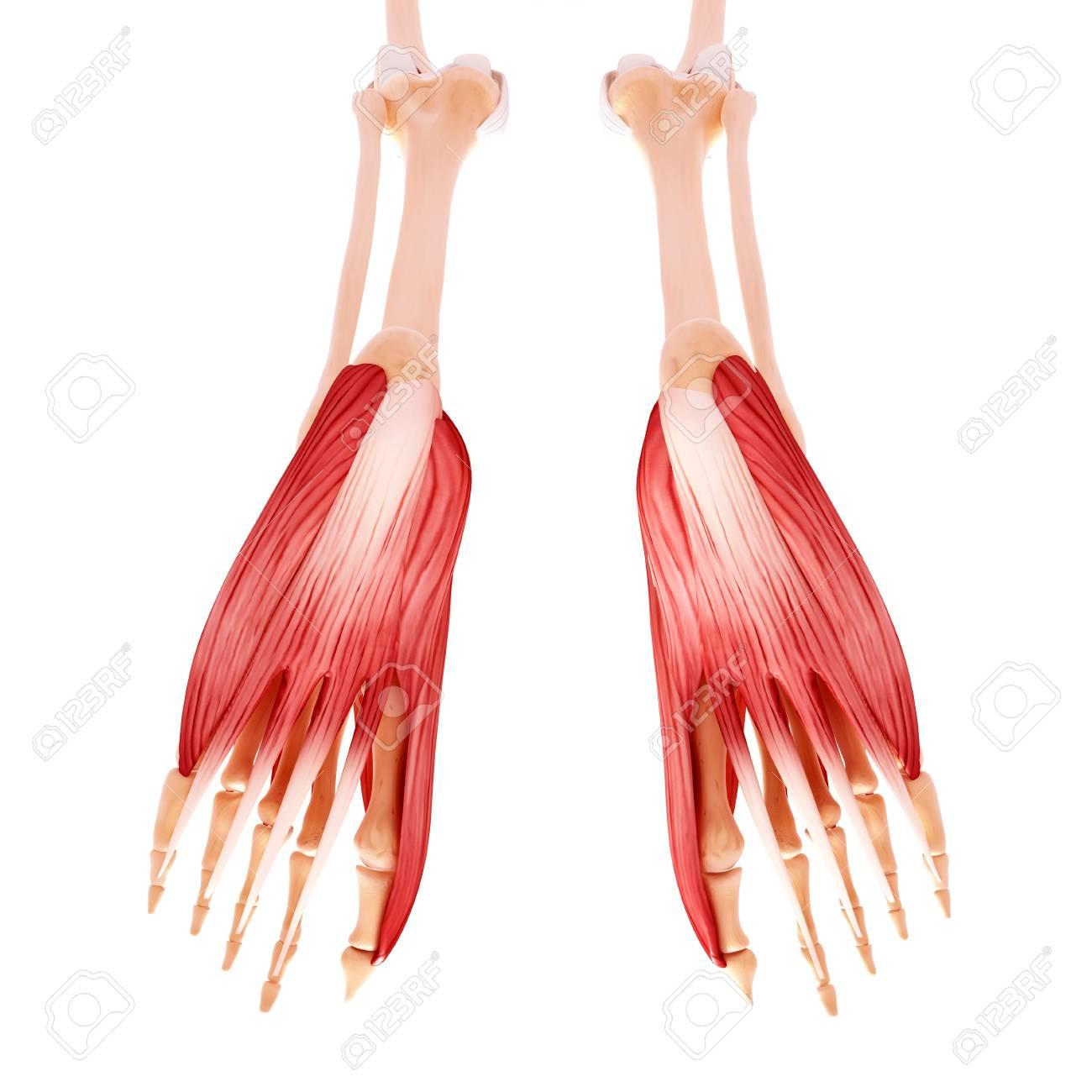 Menschliche Fußmuskulatur, Computergrafik Lizenzfreie Fotos, Bilder ...