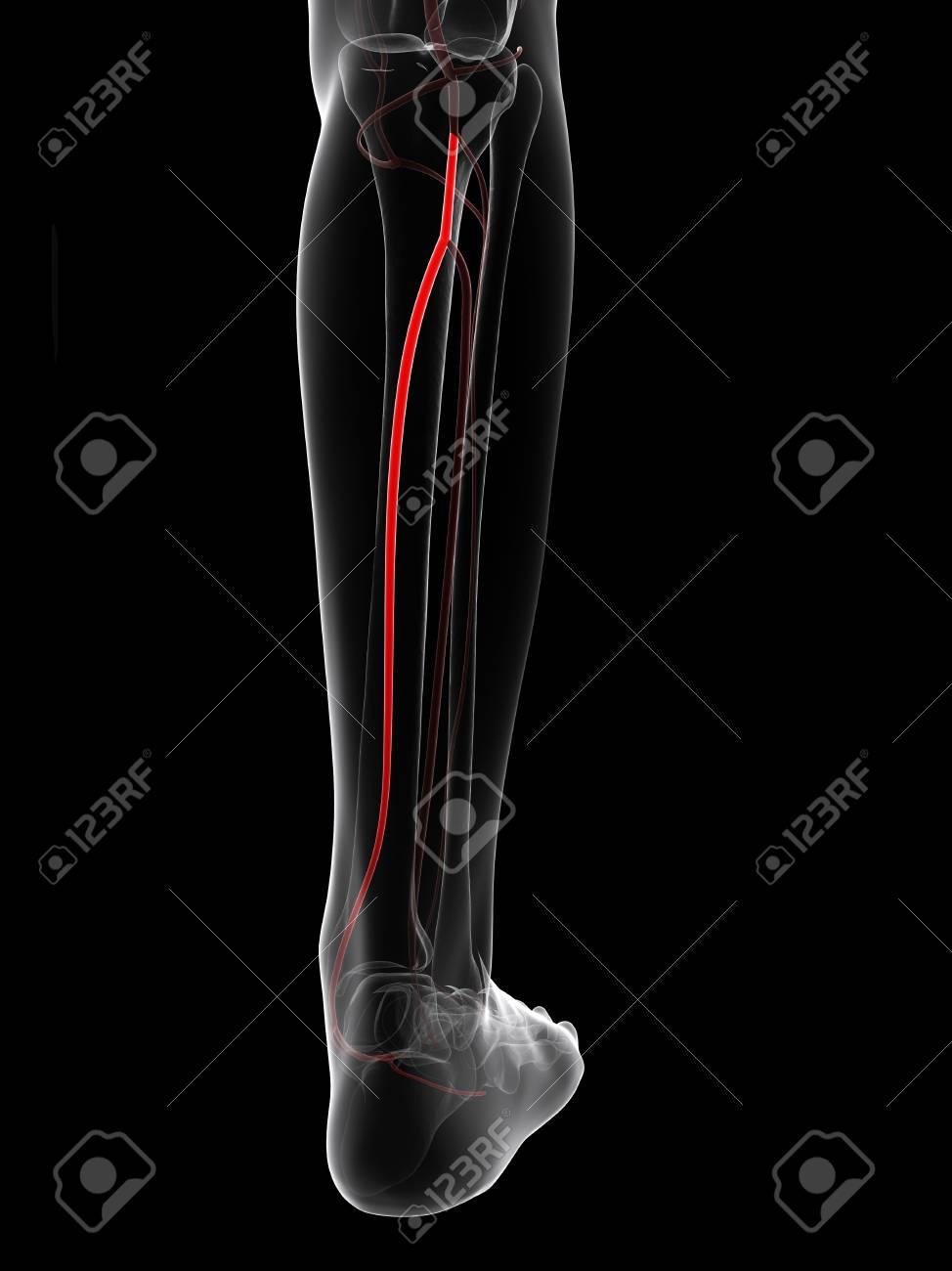 Calf Artery Computer Artwork Showing The Posterior Tibial Artery
