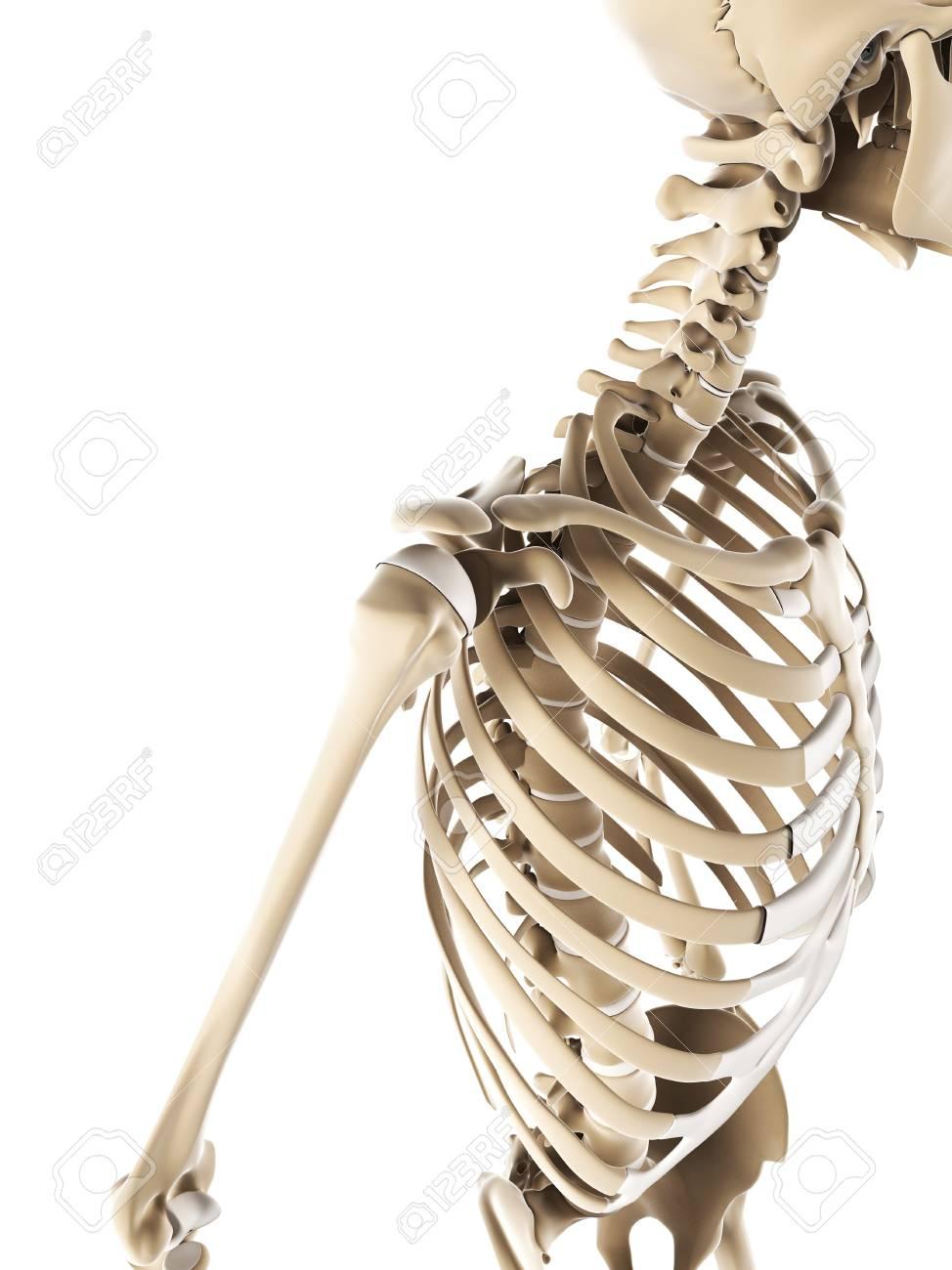 Shoulder Bonescomputer Artwork Stock Photo Picture And Royalty
