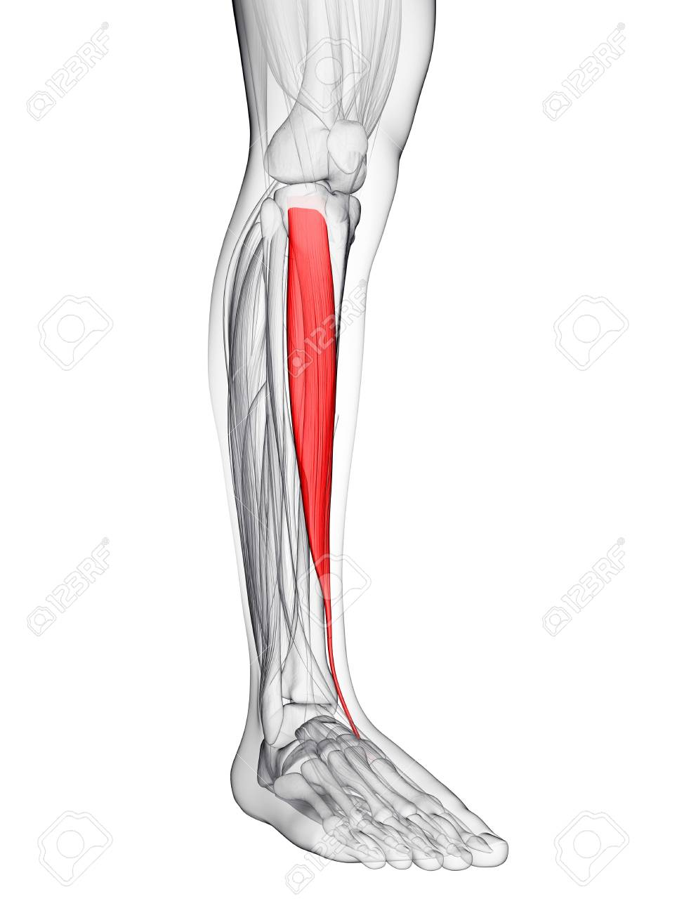 Shin Muscle. Computer Artwork Showing The Tibialis Anterior Muscle ...