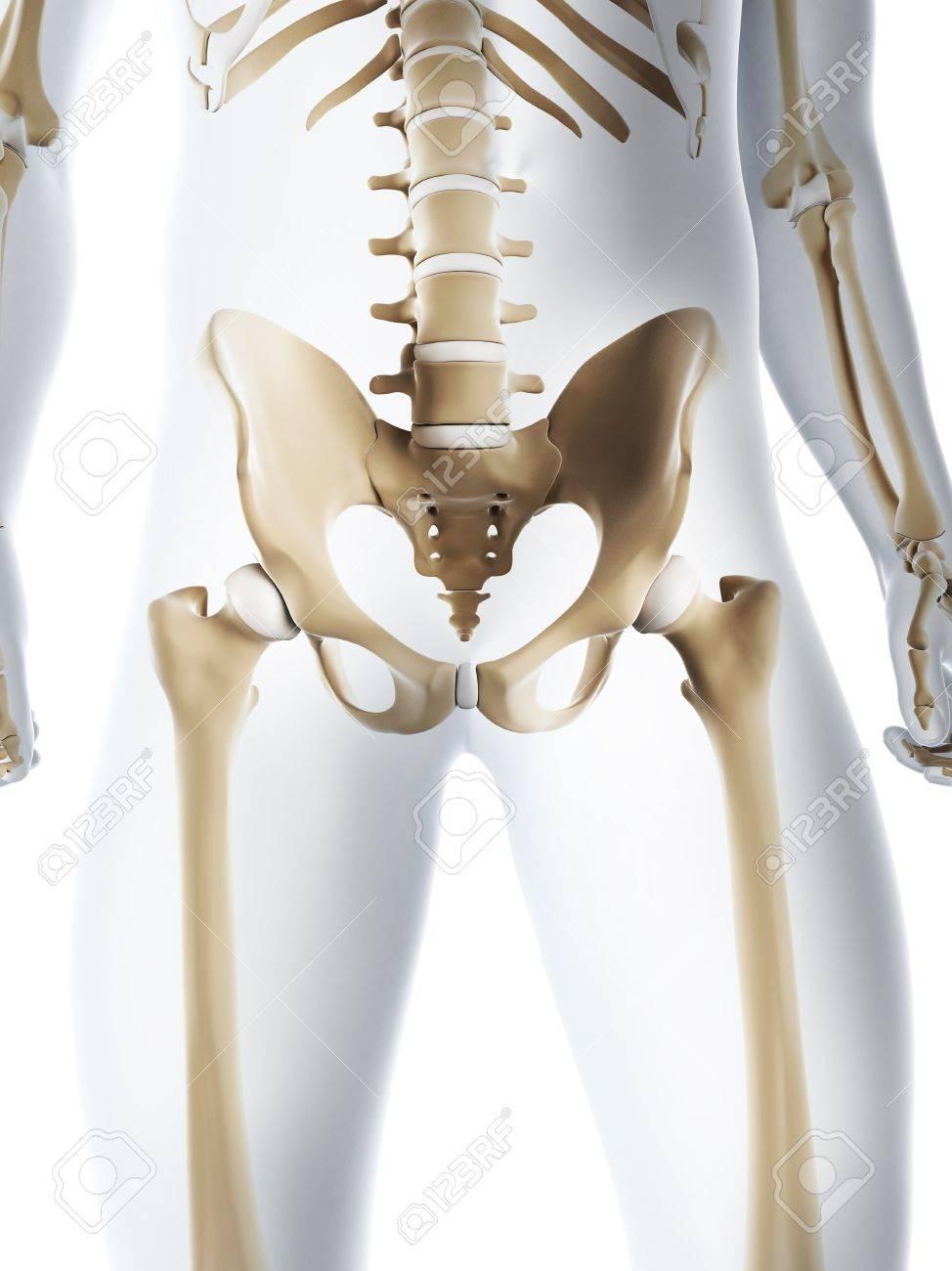 Male Pelvis Bonescomputer Artwork Stock Photo Picture And Royalty