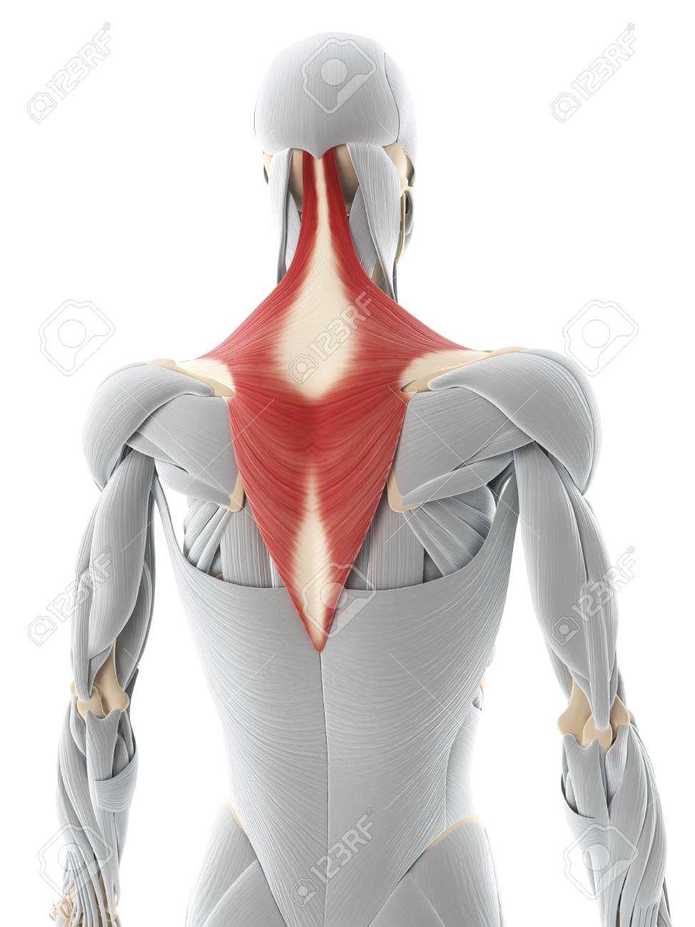 Back Muscle Computer Artwork Showing The Trapezius Muscle Stock