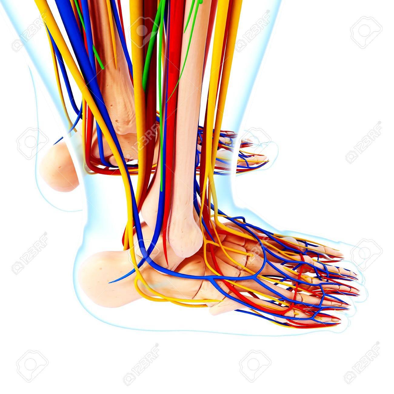 Charmant Menschliche Fuß Anatomie Fotos - Anatomie Von Menschlichen ...