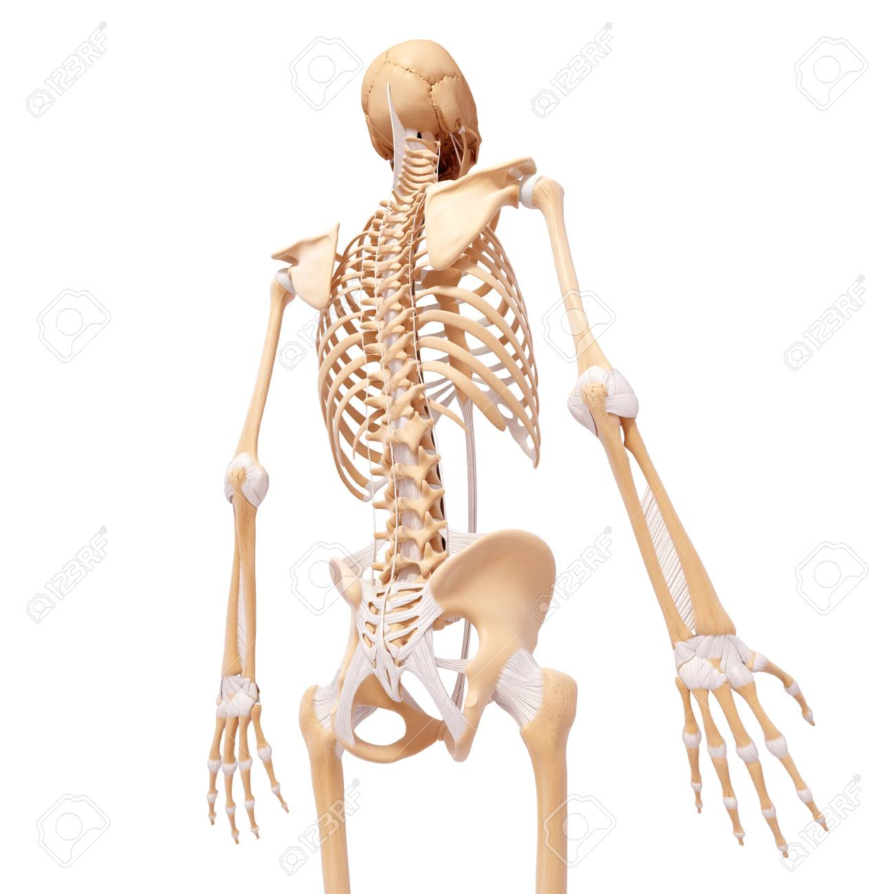 human skeleton artwork stock photo picture and royalty free image