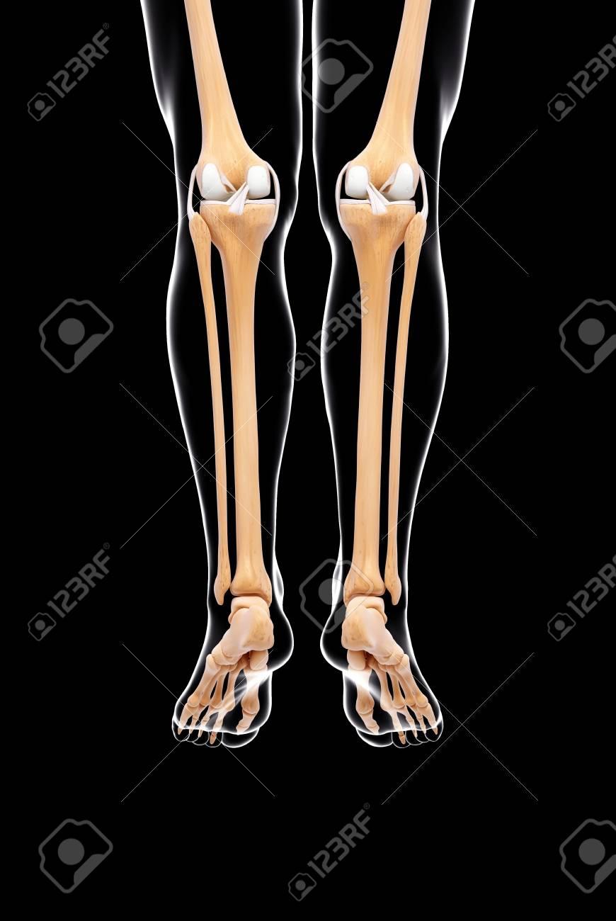 Human Leg Bonesartwork Stock Photo Picture And Royalty Free Image