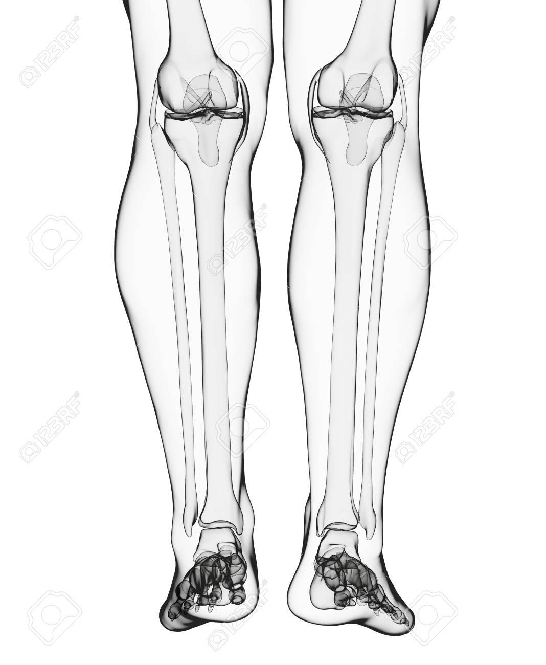 Asombroso Foto De Huesos De Las Piernas Humanas Foto - Anatomía de ...