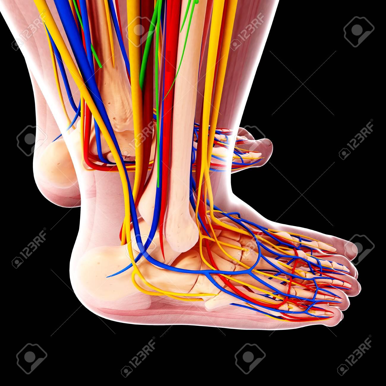 Menschliche Fußanatomie, Computergrafik Lizenzfreie Fotos, Bilder ...