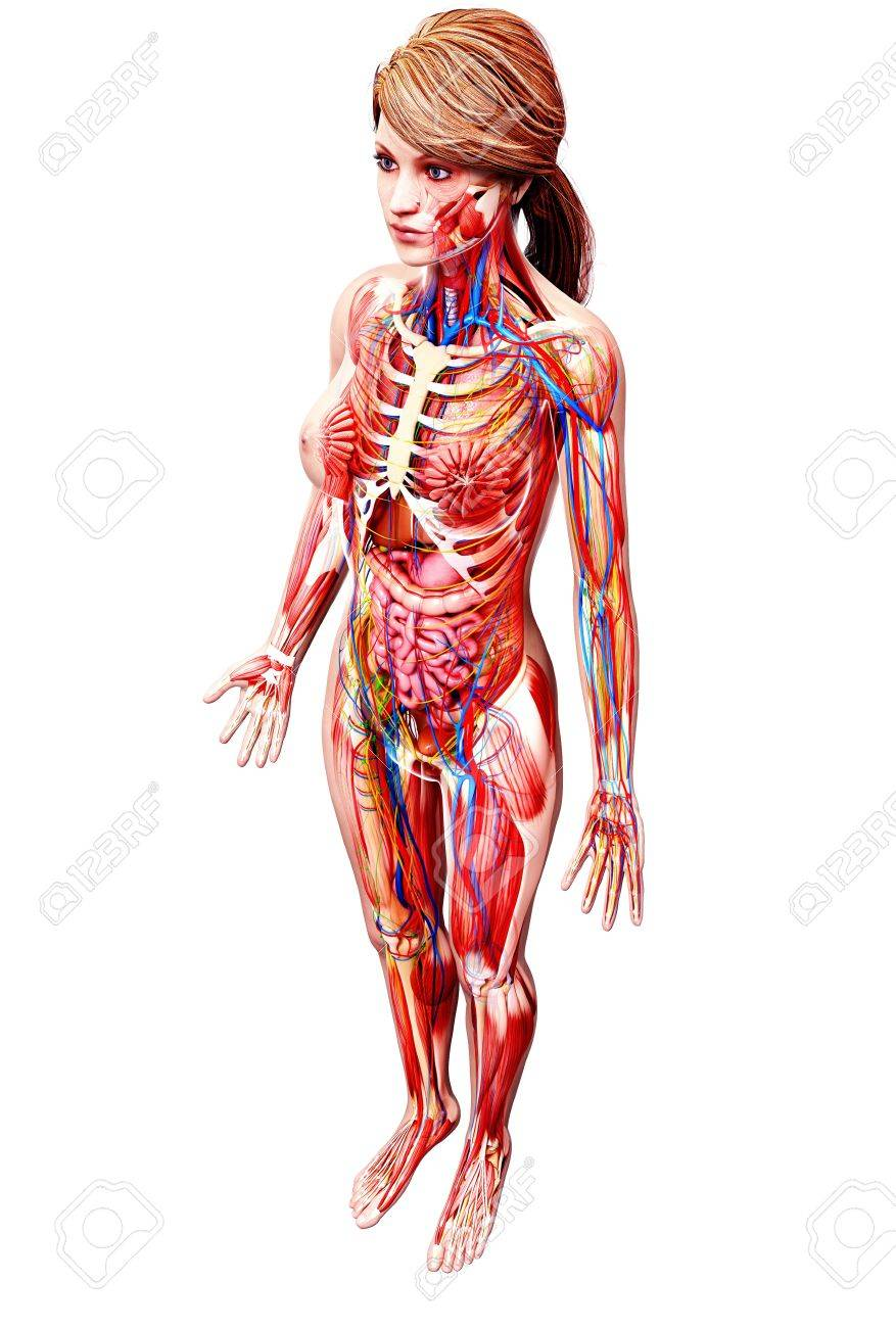 Female Anatomy,artwork Stock Photo, Picture And Royalty Free Image ...