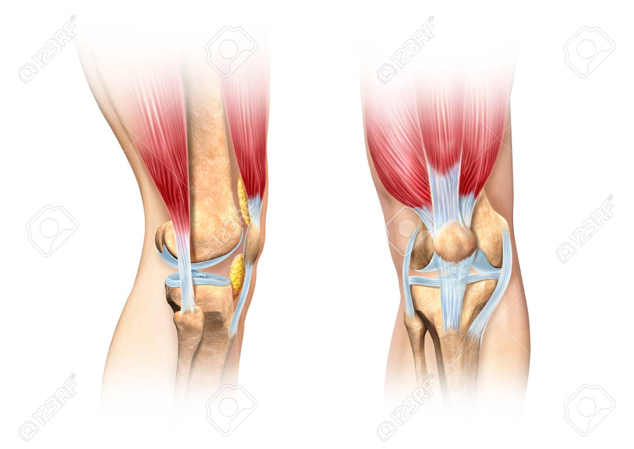 Knee Anatomy, Artwork Stock Photo, Picture And Royalty Free Image ...