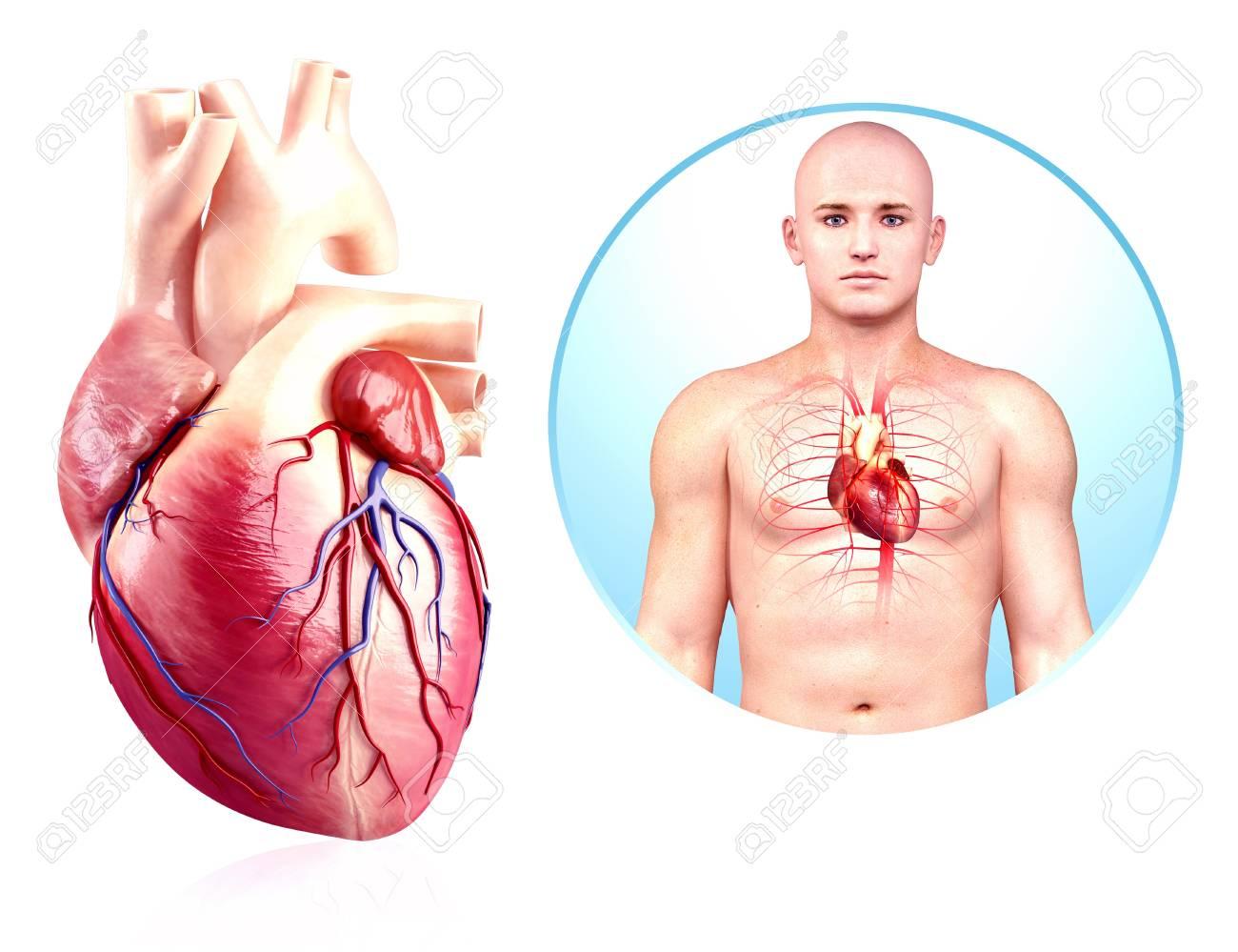 Menschliches Herz Anatomie, Kunstwerk Lizenzfreie Fotos, Bilder Und ...