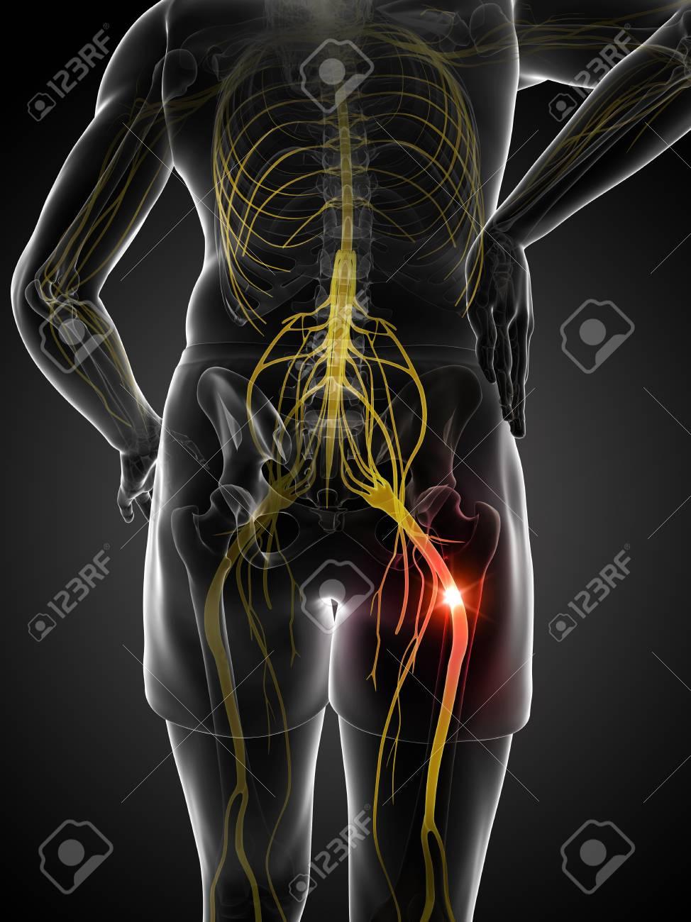 Encantador Anatomía De La Vía De Nervio Ciático Friso - Anatomía de ...