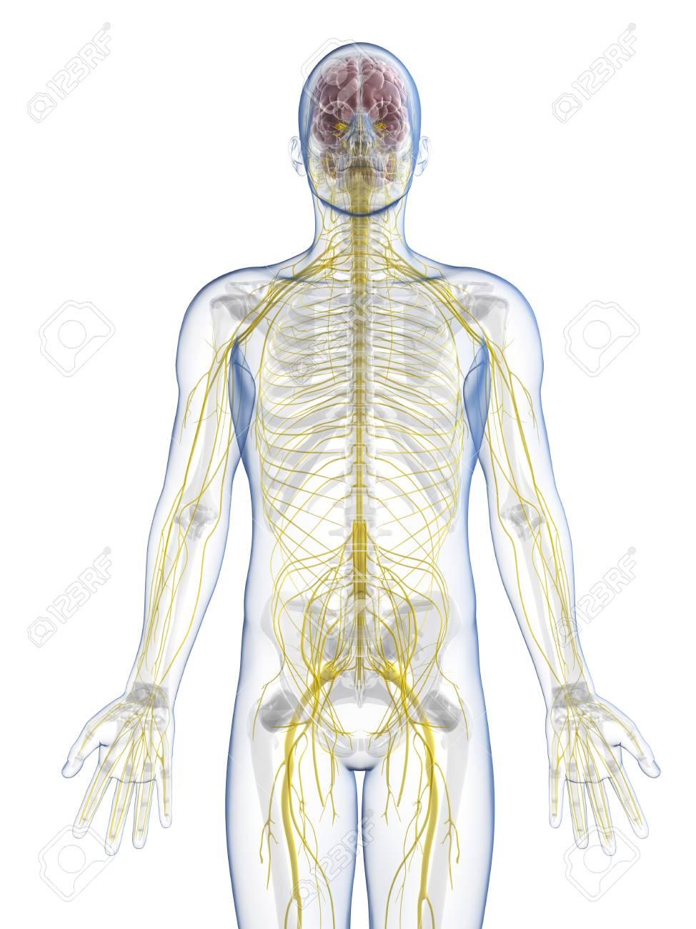 Ziemlich Malvorlagen Zum Nervensystem Zeitgenössisch - Malvorlagen ...