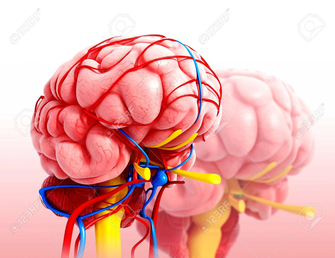 Human Brain Anatomy,artwork Stock Photo, Picture And Royalty Free ...