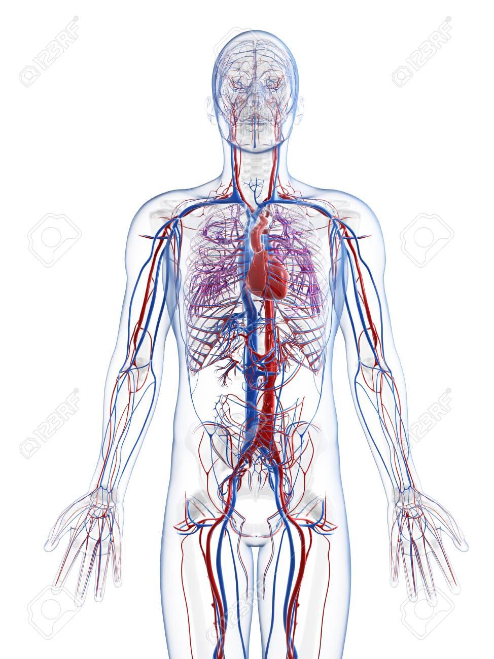 Ausgezeichnet Anatomie Gefäßsystem Bilder - Physiologie Von ...