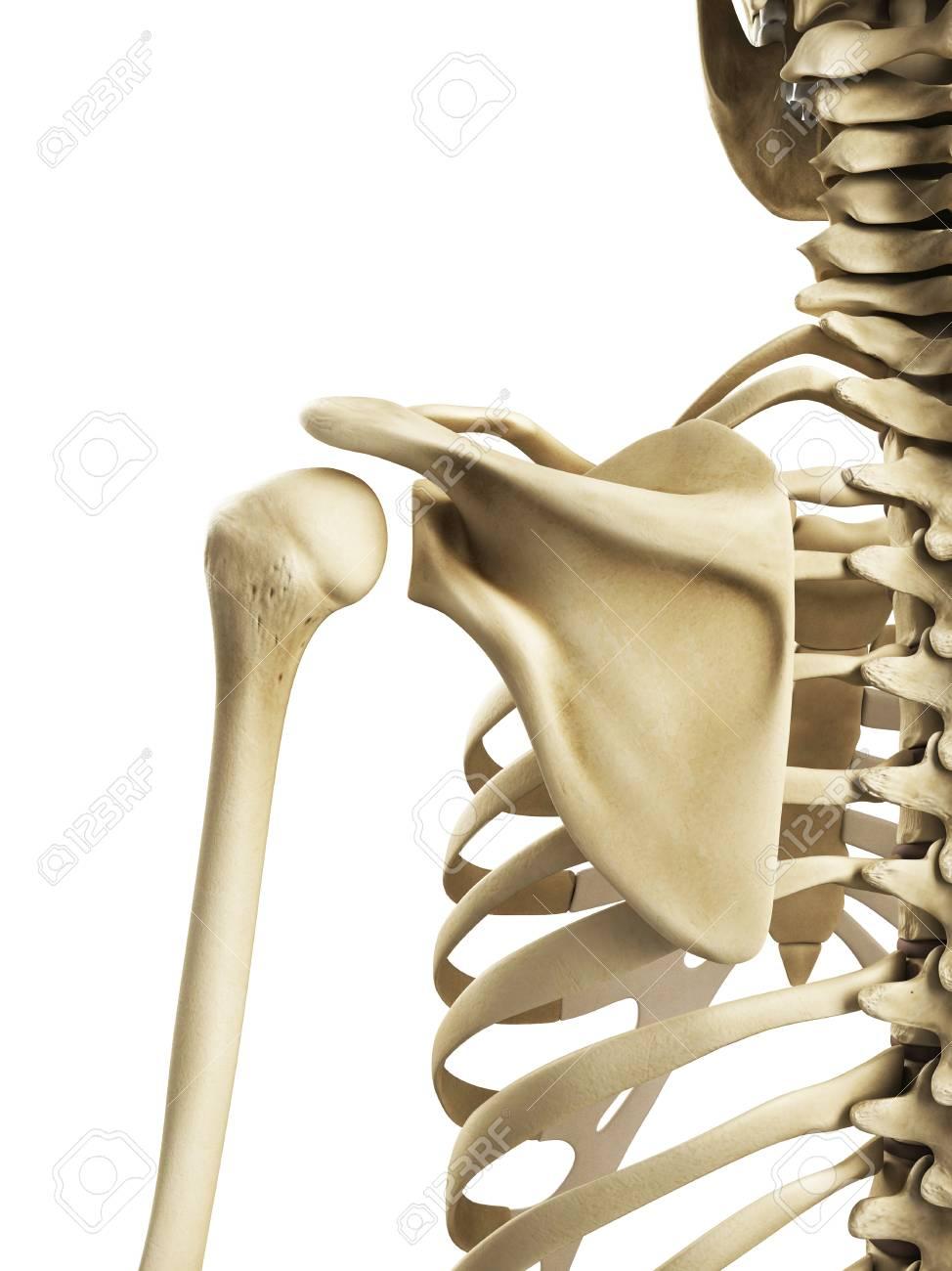 Shoulder Bonesartwork Stock Photo Picture And Royalty Free Image