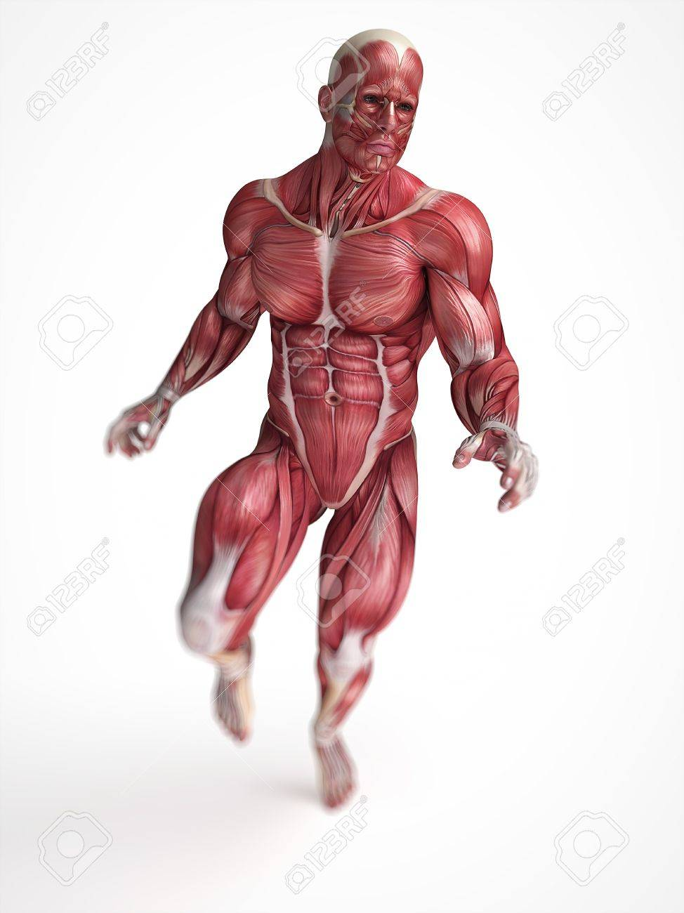 Human Muscular System Artwork Stock Photo Picture And Royalty Free