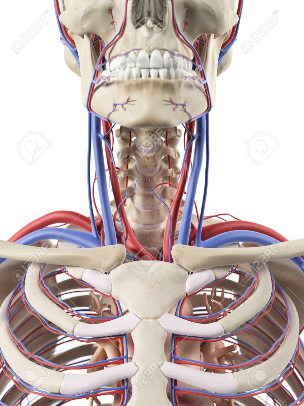 Blood Vessels In The Neck Artwork Stock Photo Picture And Royalty