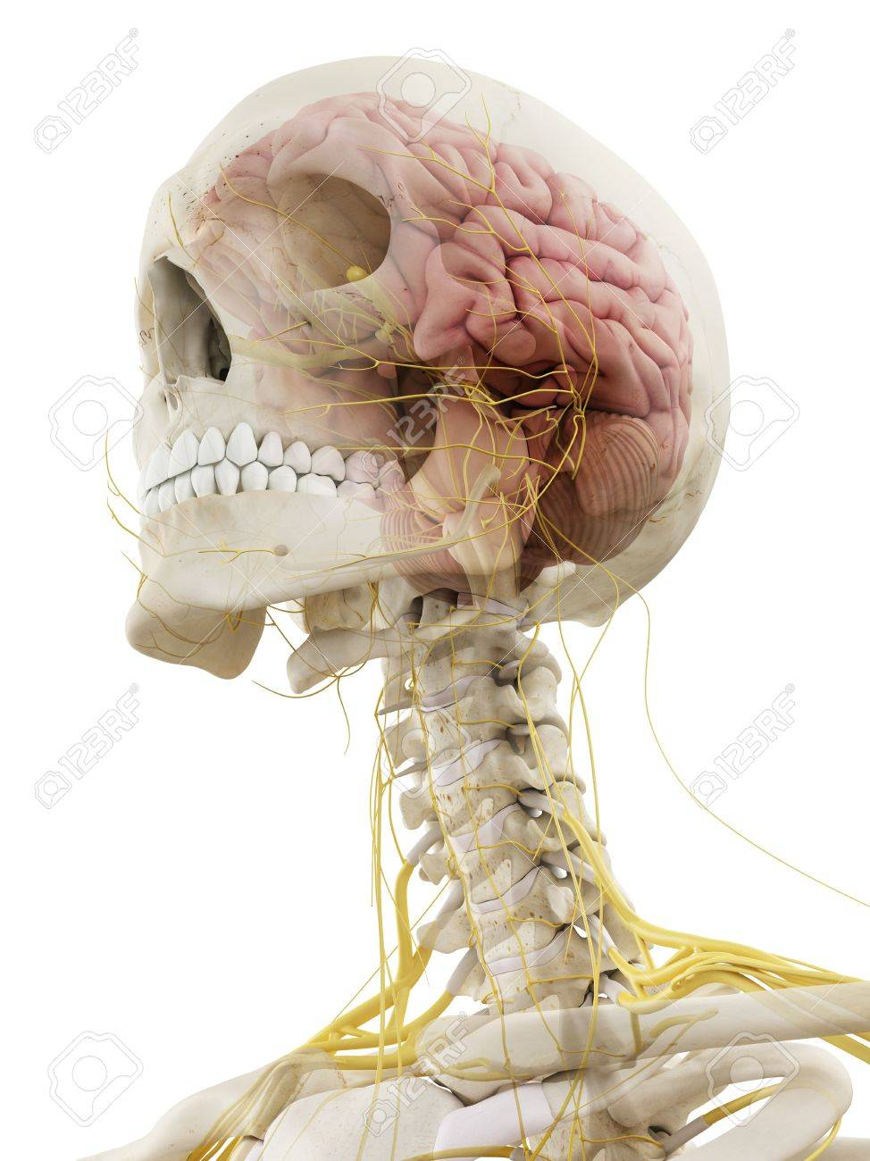 Menschliches Gehirn Und Nerven, Kunstwerk Lizenzfreie Fotos, Bilder ...