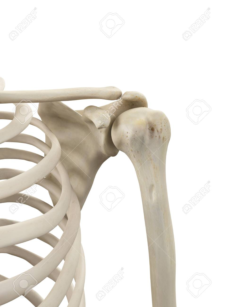 Human Shoulder Bones Artwork Stock Photo Picture And Royalty Free