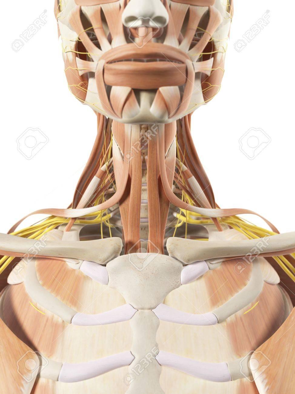 Músculos Y Nervios Del Cuello, Ilustraciones Fotos, Retratos ...