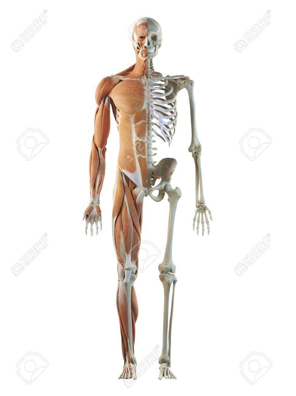 Human Musculoskeletal System Artwork Stock Photo Picture And